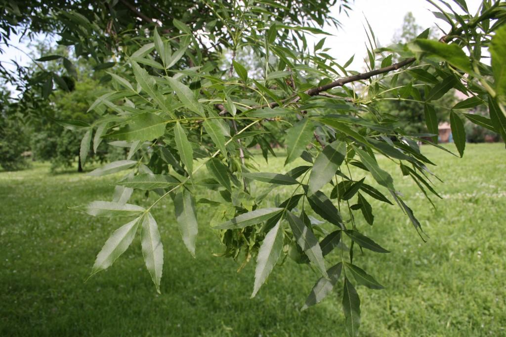 frassino foglie