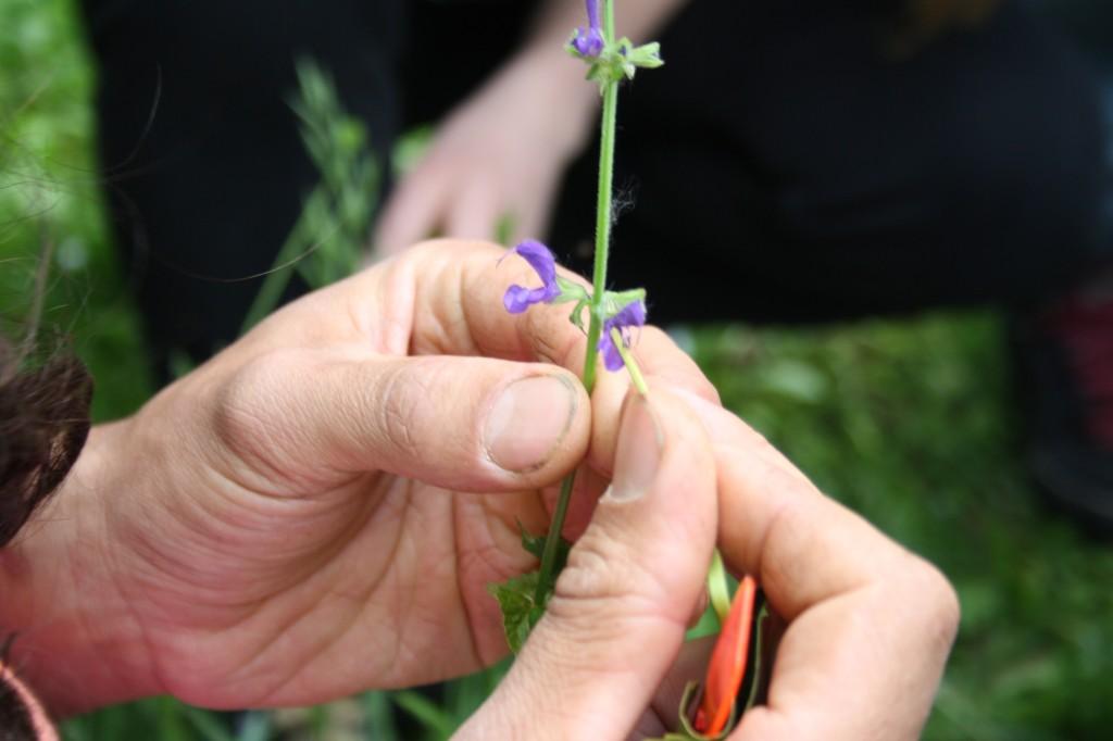 salvia prato fiore